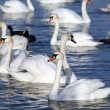 Stock Photo: Swans on water.