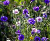 Wiosna kwiatów bławatka z zielonych liści. — Zdjęcie stockowe