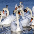 Stock Photo: White swans in water.