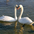 White swans in the water. — Stock Photo #9468096