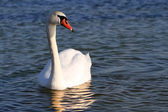 White swan in the water. — Stock Photo