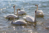 White swans in the water. — Stock Photo