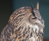 GREAT OWL — Stock Photo