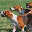Stock Photo: Three hunting hounds