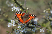Red admiral butterfly outdoors — Stock Photo