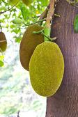 Jackfruits tree — Foto de Stock