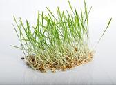 Zelený výhonek — Stock fotografie