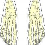 Foot bones — Stock Vector