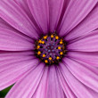 Foreground of a purple daisy — Stok fotoğraf