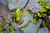 緑のカエル — ストック写真