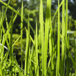 Stock Photo: Backlit Grass