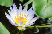 Nymphaea capensis (Cape blue water lily) — Stock Photo