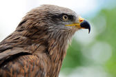 águila de oro — Foto de Stock