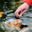 feeding koi carp — Stock Photo