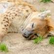 Tired spotted hyena - Stok fotoraf