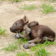 Spotted hyena cub - Stok fotoraf