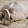 Tired warthog — Stock Photo #8400303