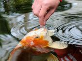 Feeding koi carp — Stock Photo