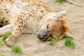 Tired spotted hyena — Foto de Stock