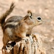 Stock Photo: Golden-mantled ground squirrel