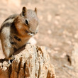 Постер, плакат: Golden mantled ground squirrel