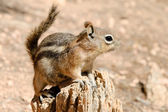 Golden-mantled ground squirrel — Stock Photo