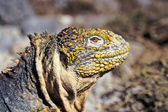Galapagos land iguana, Galapagos Islands, Ecuador — Stock Photo