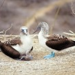 Stock Photo: Blue-footed boobies, Galapagos Islands, Ecuador