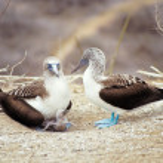 Blue-footed boobies, Galapagos Islands, Ecuador — Stock Photo