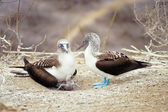 Blue-footed boobies, Galapagos Islands, Ecuador — Stock Photo