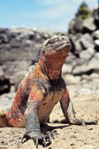 Marine iguana, Galapagos Islands, Ecuador — Stock Photo