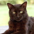 Stock Photo: Black cat close-up portrait