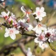 An almond tree with white flowers with branches - Stock Photo