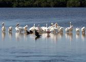 Uma família de pelicanos — Foto Stock