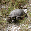 Stock Photo: Gopher tortoise