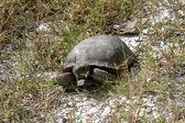 Gopher tortoise — Stock Photo