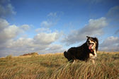 A border collie in long grass — Stok fotoğraf