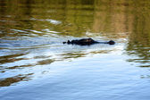 An alligator in a river — Stock Photo