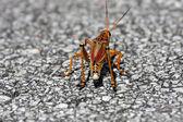 Une sauterelle d'everglades — Photo