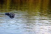 Un cocodrilo en el agua — Foto de Stock
