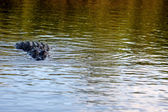 Aligátor ve vodě — Stock fotografie