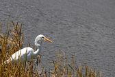 Egret u vody — Stock fotografie