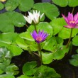 Colorful Three water lily lotus flower and green fresh leaves — Stock Photo
