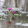 Lotus flower in water and reflect — Stock Photo #10362855