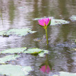 Lotus flower in water and reflect — Stock Photo