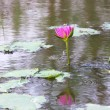 Lotus flower in water and reflect — Stock Photo #10362856