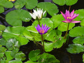 Colorful Three water lily lotus flower and green fresh leaves — Стоковое фото