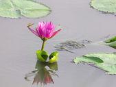 Lotus fleur dans l'eau et tenir compte — Photo