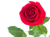 Red rose and water drop isolated on white background — Stock Photo