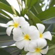 Plumeria flowers on tree — Stock Photo